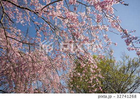 緑をバックに枝垂れ桜の枝 32741268