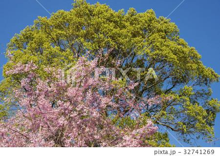 緑の木をバックに枝垂れ桜の花 32741269