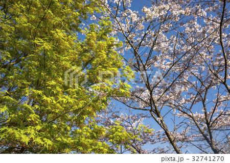 桜の花をバックにカエデの葉と花 32741270