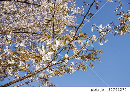 青空の下のヤマザクラの花 32741272