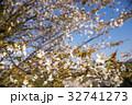 桜 花 ヤマザクラの写真 32741273