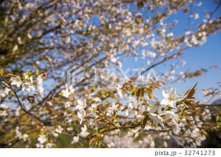 ヤマザクラの枝と花 32741273