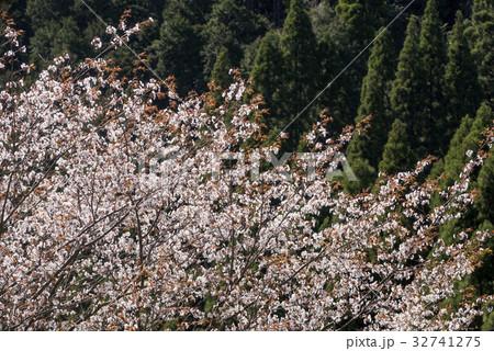 林をバックにヤマザクラの花 32741275