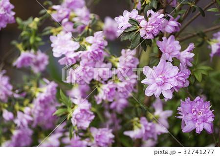 紫の八重のツツジの花 32741277
