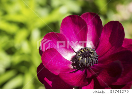 赤紫色のハナキンポウゲの花 32741279