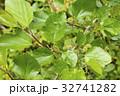 クワノキの花と葉 32741282