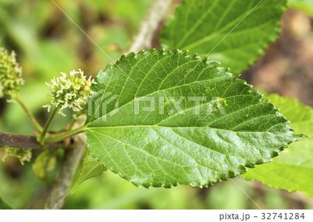 クワノキの花と葉のアップ 32741284