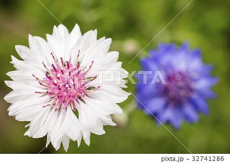 紫をバックに白いヤグルマギクの花 32741286