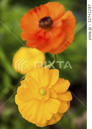 橙色をバックに黄色のハナキンポウゲの花 32741287