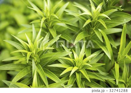 春のスカシユリの葉 32741288