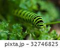 蝶 幼虫 パセリの写真 32746825