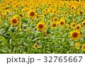 ヒマワリ 向日葵 ひまわり畑の写真 32765667