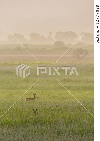 釧路湿原 夏のエゾ鹿1 32777829