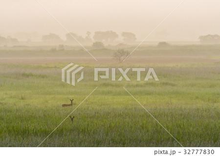 釧路湿原 夏のエゾ鹿2 32777830