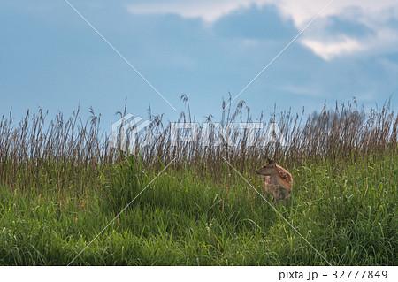 釧路湿原 夏のエゾ鹿3 32777849