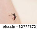 吸血蚊_ヒトスジシマカ 32777872
