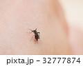 吸血蚊_ヒトスジシマカ 32777874