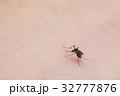 吸血蚊_ヒトスジシマカ 32777876