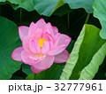 蓮の花 32777961