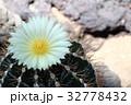 花 サボテン 植物の写真 32778432
