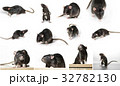 Gray rat in different poses 32782130