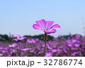 植物 花 麦なでしこの写真 32786774