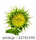 ひまわり 向日葵 フラワーの写真 32791595