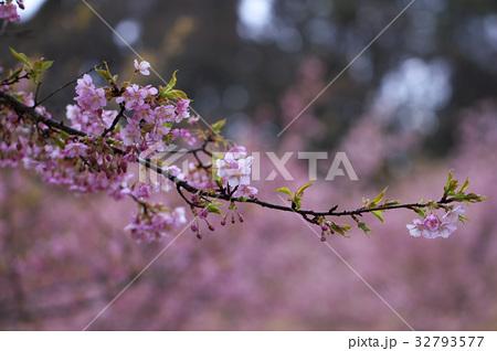 雨の河津桜 32793577
