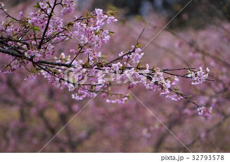 雨の河津桜 32793578