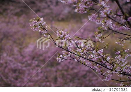 雨の河津桜 32793582