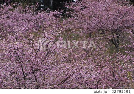 雨の河津桜 32793591