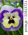 花 パンジー 三色スミレの写真 32813721