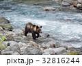 川辺を歩くヒグマ(北海道) 32816244