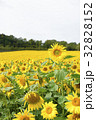 ヒマワリ ひまわり 向日葵の写真 32828152