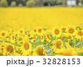 ヒマワリ ひまわり 向日葵の写真 32828153