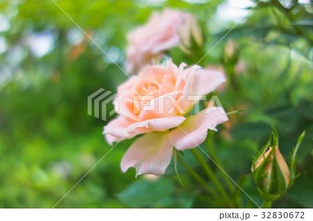 ピンクのバラ 32830672