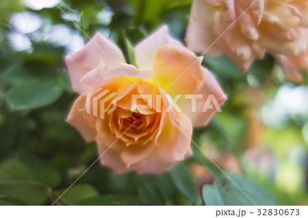 オレンジのバラ 32830673