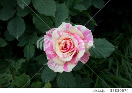 斑入りのバラ 32830674