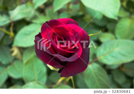 黒バラ 32830681