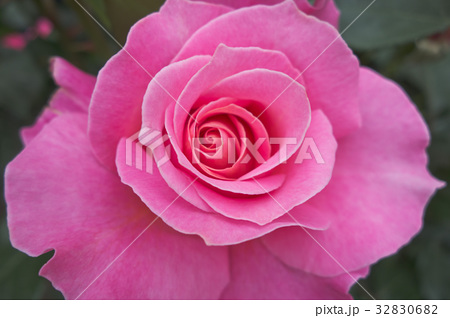 ピンクのバラ 32830682
