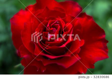 真っ赤なバラ 32830686