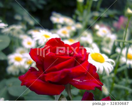赤いバラと白いカモミール 32830687