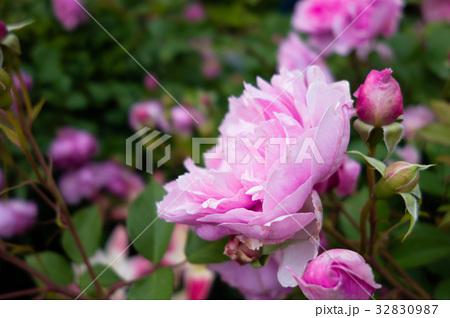 ピンクのバラ 32830987