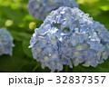 紫陽花 あじさい 花の写真 32837357
