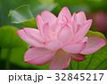 蓮 大賀蓮 アップの写真 32845217