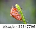 抜け殻 蝉 蝉の抜け殻の写真 32847796