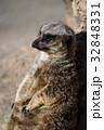 東武動物公園 ミーアキャット マングース科の写真 32848331