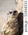 東武動物公園 ミーアキャット マングース科の写真 32848332
