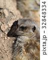 東武動物公園 ミーアキャット マングース科の写真 32848334