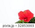 ハイビスカス 32853003